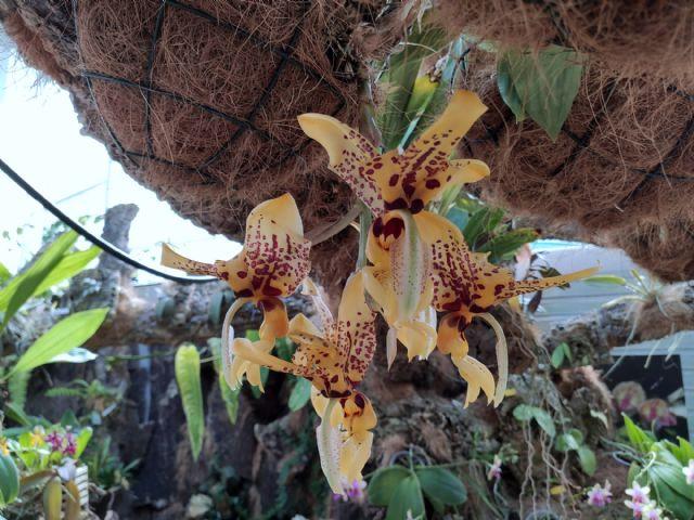 Floración de la orquídea 'Stanhopea trigrina'